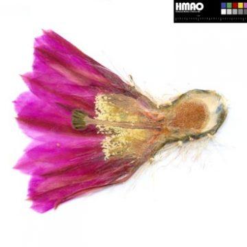 Privatherbarium Martina & Andreas Ohr zur Gattung Echinocereus