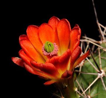 Echinocereus coccineus subsp. roemeri, USA, Texas, Real Co., BW111