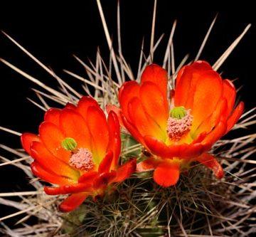 Echinocereus coccineus subsp. rosei, Mexico, Chihuahua, Alamos de Pena
