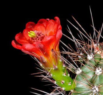 Echinocereus coccineus subsp. rosei, USA, Texas, Saltflat