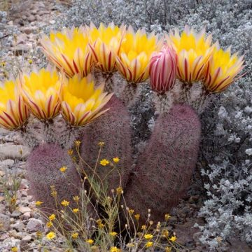 Echinocereus dasyacanthus subsp. multispinosus, Mexico, Chihuahua, San Pedro