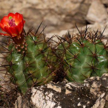 Echinocereus coccineus subsp. paucispinus, USA, Texas, Sonora