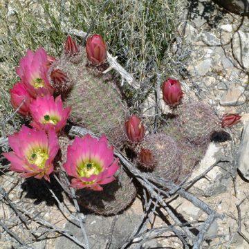 Echinocereus pectinatus, Mexico, Chihuahua, El Morrion