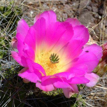 Echinocereus pentalophus, Mexico, Guanajuato, Tierra Blanca
