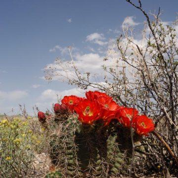 Echinocereus coccineus subsp. transpecosensis, USA, Texas, Sierra Blanca
