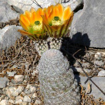 Echinocereus in Habitat – Echinocereus ctenoides, Mexico, Coahuila, nördlich Melchor Muzquiz