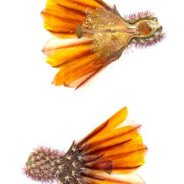HMAO-003-0097 - Echinocereus pectinatus rutowiorum, Mexico, Chihuahua, El Aguaje
