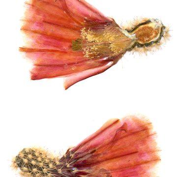 HMAO-003-0098 - Echinocereus pectinatus rutowiorum, Mexico, Chihuahua, El Aguaje