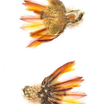 HMAO-003-0099 - Echinocereus dasyacanthus, Mexico, Coahuila, La Cuesta