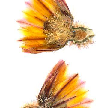 HMAO-003-0100 - Echinocereus dasyacanthus, Mexico, Coahuila, La Cuesta