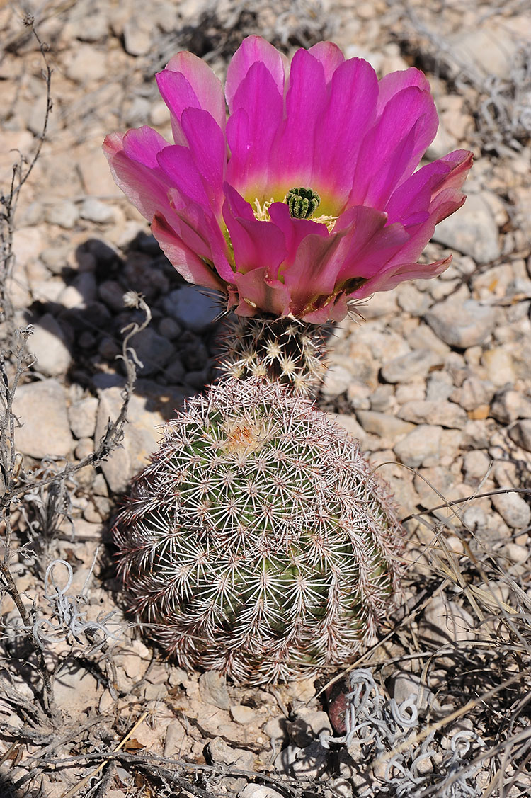 Echinocereus pectinatus subsp. wenigeri, USA, Texas, Terrell Co.