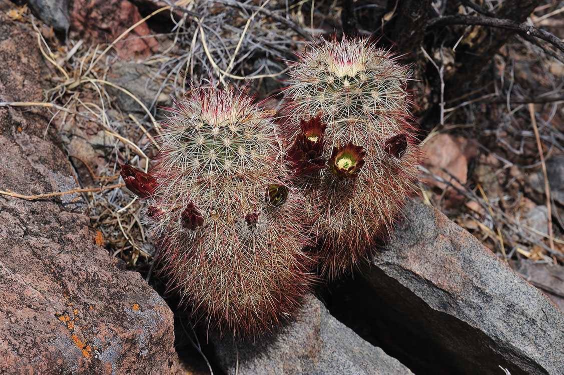 Echinocereus russanthus, USA, Texas, Brewster Co.