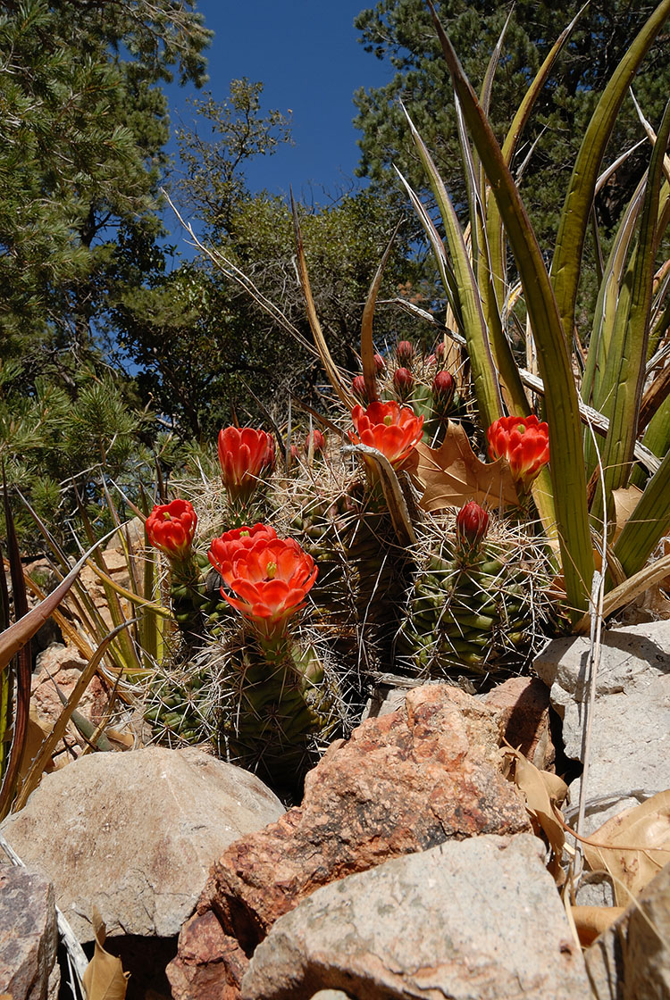 Echinocereus coccineus, USA, Texas, Brewster Co.