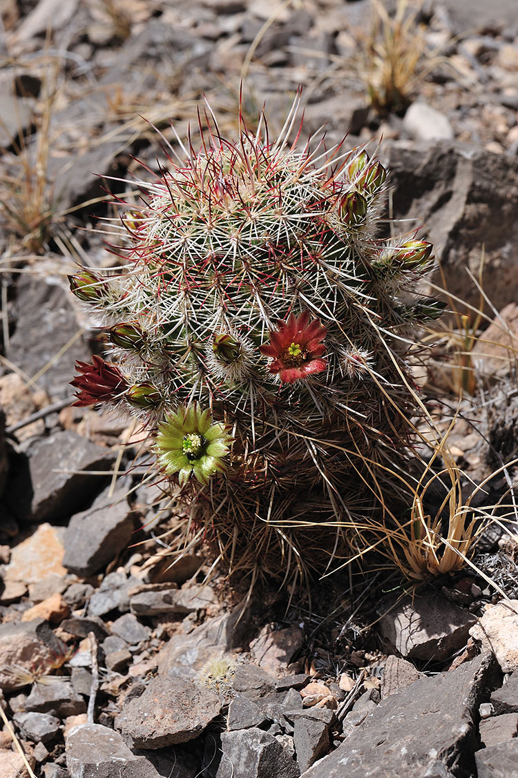 Echinocereus chloranthus, USA, New Mexico, Chaves Co.