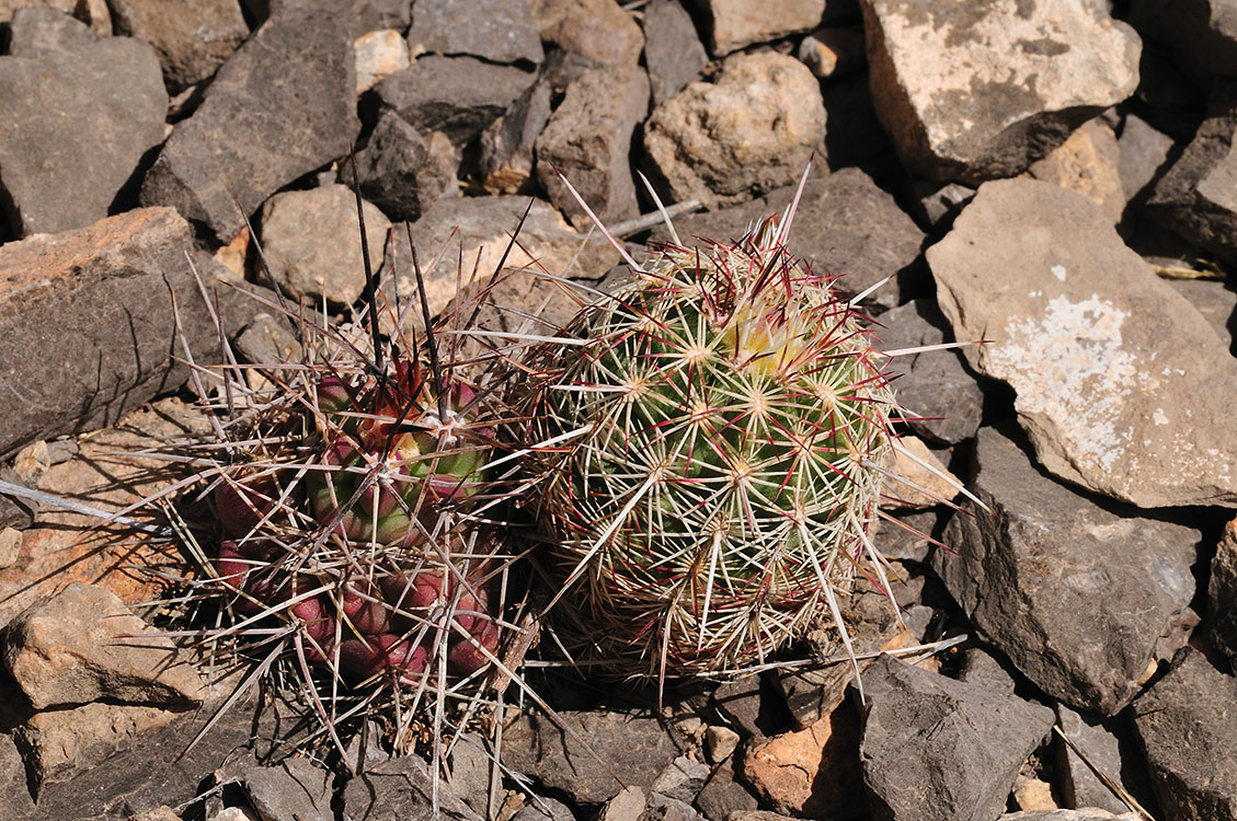 Echinocereus chloranthus und coccineus, USA, New Mexico, Chaves Co.