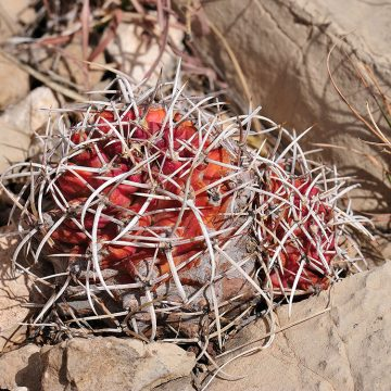 Echinocereus fendleri subsp. kuenzleri, USA, New Mexico, Chaves Co.
