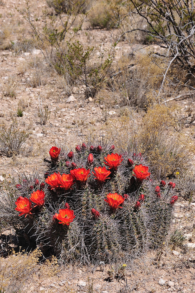Echinocereus coccineus, USA, Texas, Hudspeth Co.