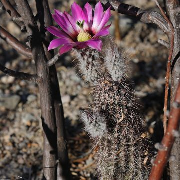 Echinocereus chisoensis, USA, Texas, Brewster Co.