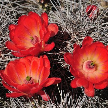 Echinocereus coccineus subsp. transpecosensis, USA, Texas, Hudspeth Co.