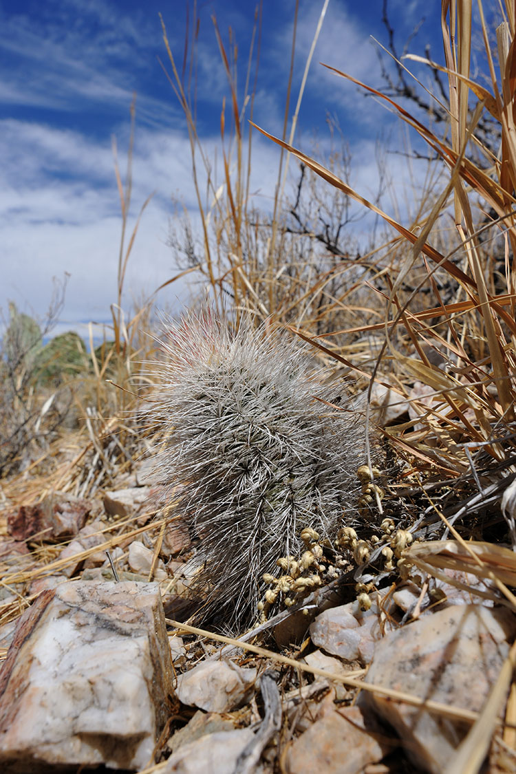 Echinocereus canus, USA, Texas, Presidio Co.