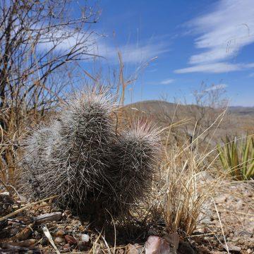 Echinocereus canus, USA, Texas, Presidio Co.