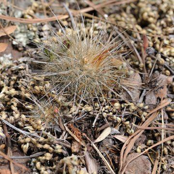 Echinocereus russanthus subsp. weedinii, USA, Texas, Jeff Davis Co.