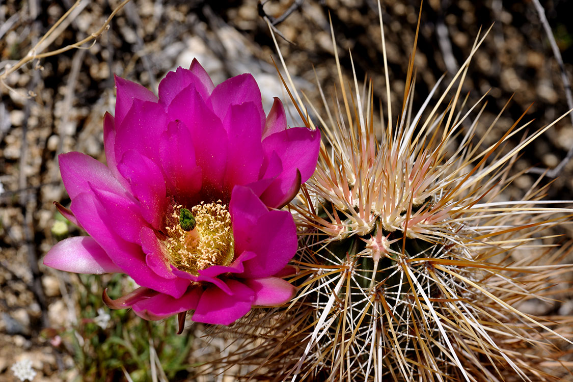 Echinocereus engelmannii, USA, California, San Diego Co.