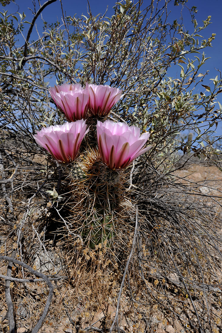 Echinocereus engelmannii, USA, Arizona, Pima Co.