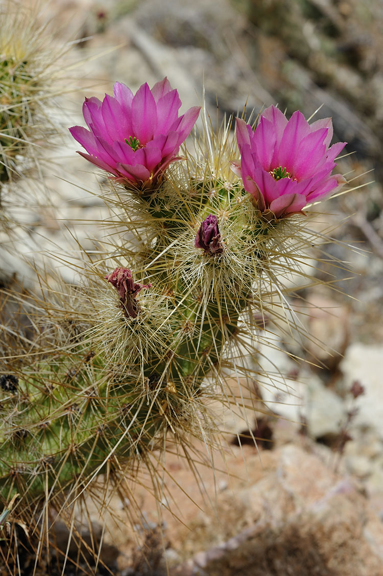 Echinocereus nicholii, USA, Arizona, Pima Co.
