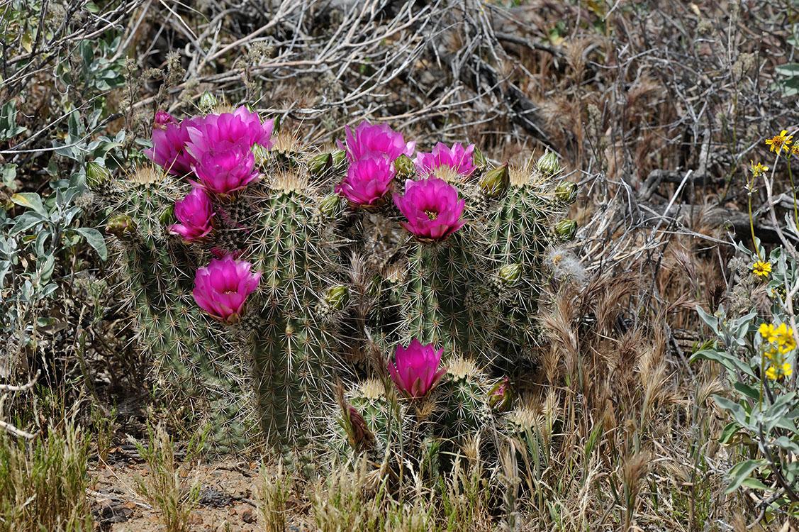 Echinocereus engelmannii subsp. fasciculatus, USA, Arizona, Gila Co.