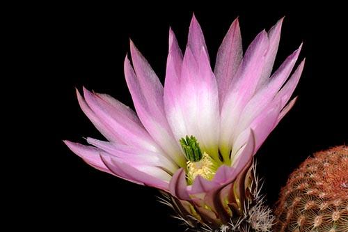 Echinocereus pectinatus, Mexico, San Luis Potosi, Arbolitos
