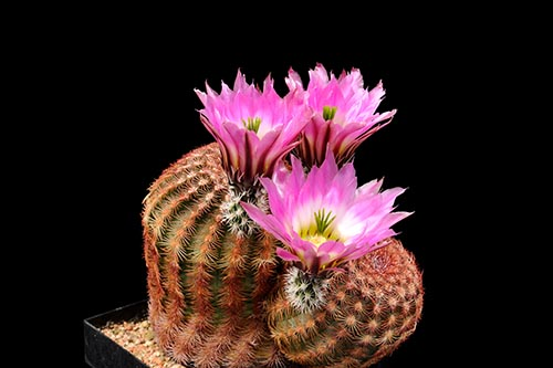 Echinocereus pectinatus, Mexico, Durango, Rodeo - Las Nieves