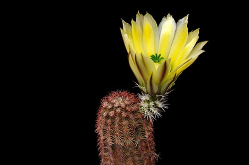Echinocereus dasyacanthus, USA, Texas, Brewster Co., Castalone
