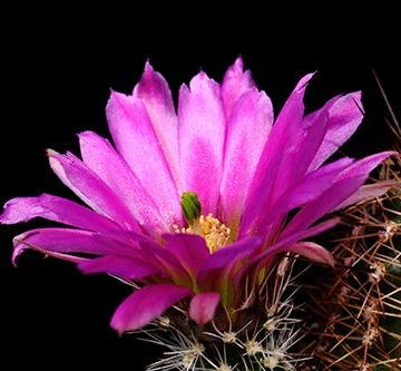 Echinocereus bonkerae, USA, Arizona, Greenlee Co.