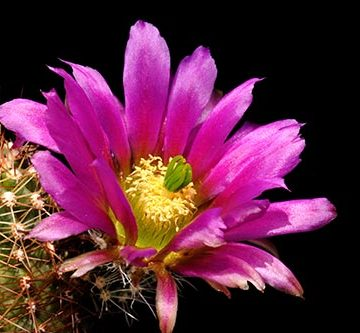 Echinocereus bonkerae, USA, Arizona, Greenlee Co.