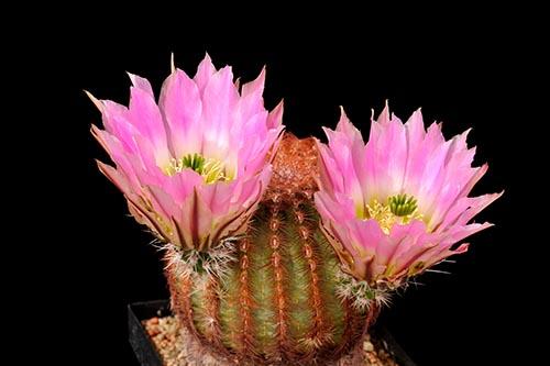 Echinocereus pectinatus, Mexico, San Luis Potosi, westlich San Luis Potosi