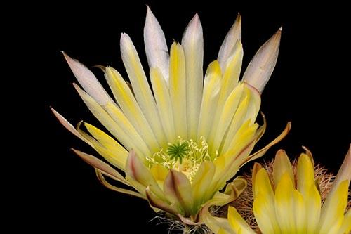 Echinocereus dasyacanthus, Mexico, Chihuahua, Lajitas