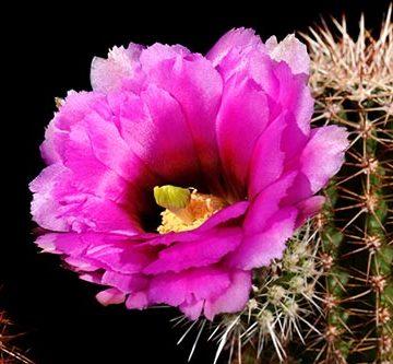 Echinocereus bonkerae, USA, Arizona, Oracle
