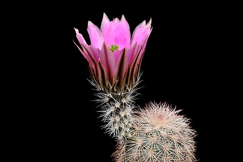 Echinocereus dasyacanthus subsp. crockettianus, USA, Texas, Crockett Co., südlich Sheffield