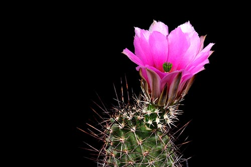 Echinocereus fendleri, USA, Arizona, nördlich Benson
