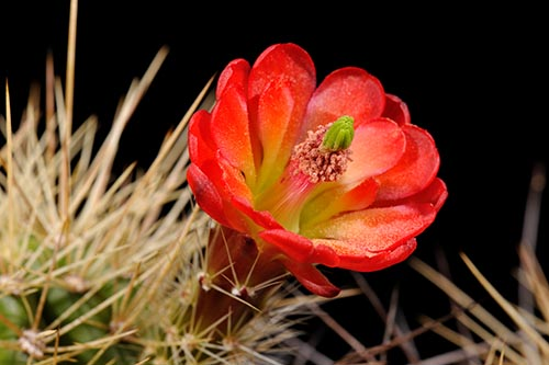 Echinocereus bakeri, USA, Arizona, Prescott
