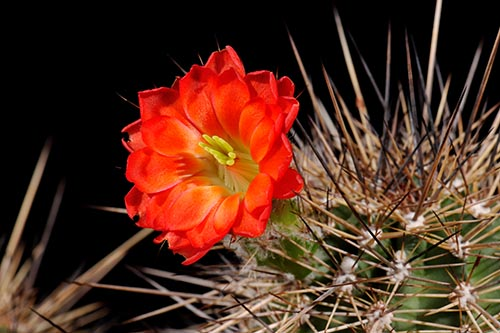 Echinocereus polyacanthus, Mexico, Chihuahua, Cusihuiriachic
