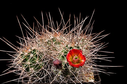 Echinocereus canyonensis fa. toroweapensis, USA, Arizona, südlich Supai