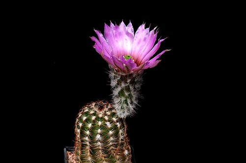 Echinocereus reichenbachii subsp. perbellus, USA, Texas, Jones Co.