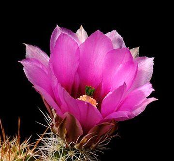 Echinocereus engelmannii subsp. fasciculatus, USA, Arizona, Tucson - Oracle
