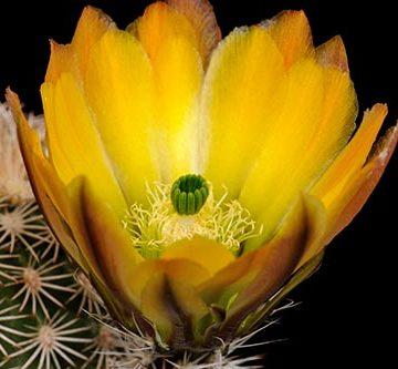 Echinocereus ctenoides, Mexico, Coahuila, Melchor Muzquiz