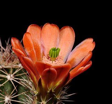 Echinocereus xroetteri, USA, New Mexico, Orogrande