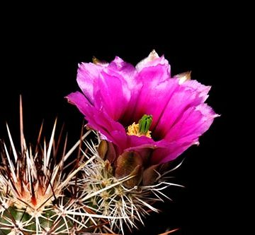 Echinocereus engelmannii fa. decumbens, USA, Arizona, Antelope Valley