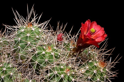 Echinocereus mojavensis, USA, Arizona, Flagstaff - Jacob Lake