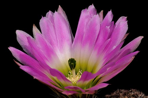 Echinocereus pectinatus subsp. wenigeri, USA, Texas, Langtry